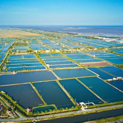 Shrimp farming in Vietnam