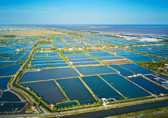 Shrimp farming in Vietnam